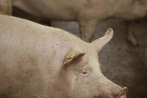 NEFCO is financing energy saving at pig farms in Ukraine. Photograph: Patrik Rastenberger