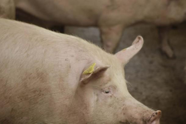 NEFCO is financing energy saving at pig farms in Ukraine. Photograph: Patrik Rastenberger