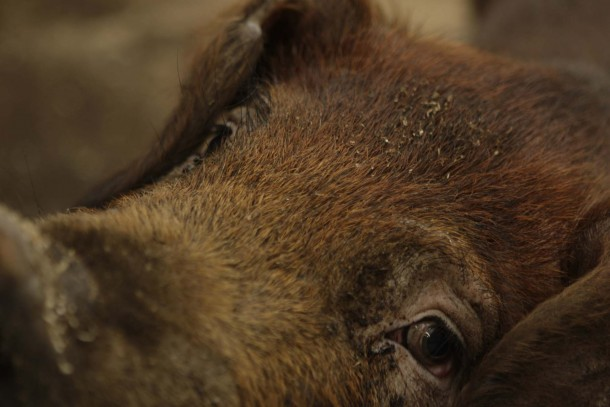 NEFCO grants loan for treatment of pig manure in Russia. Photograph: Patrik Rastenberger