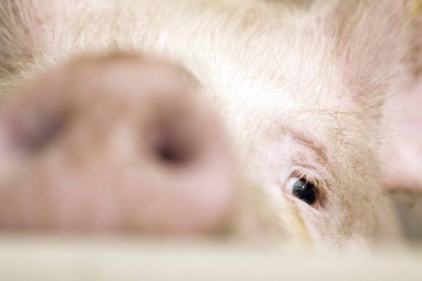 Danfarm's piggery in Khalcha currently has 45,000 pigs. Photo: Patrik Rastenberger