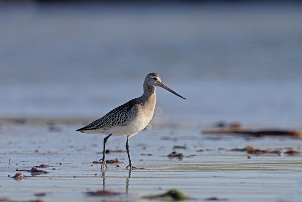 The black-tailed godwit is one of the bird species that will benefit from the workplan. Photo: Mike Lane/Depositphotos