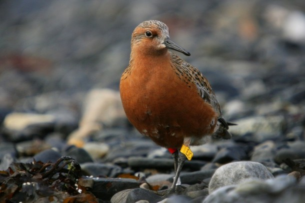 RedKnot is one of the Arctic bird species declining with an unprecedented rate today. Photo: Morten Ekkert