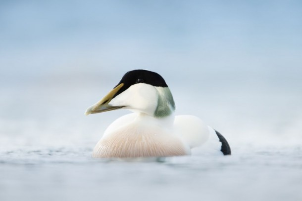 Common Eider is one of the seabird species breeding in the Arctic and using the Circumpolar Flyway. Photo: Giedriius/Shutterstock